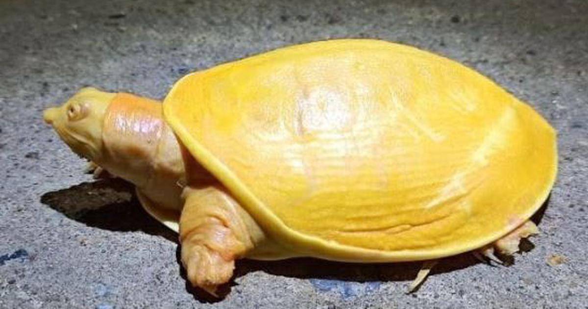 Rare yellow turtle spotted in Odisha's Balasore district