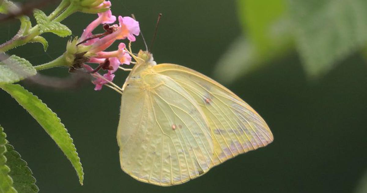 The chaotic urbanisation in India is claiming another casualty: migrant butterflies