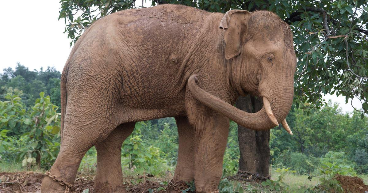How deforestation in Chhattisgarh is increasing human-elephant conflicts in Madhya Pradesh