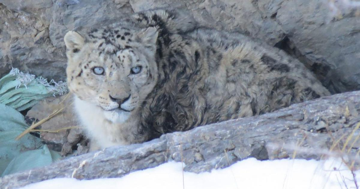 Climate change is bringing snow leopards and common leopards into conflict