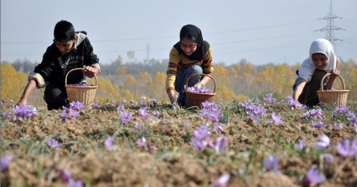Government intervention has failed to arrest the decline of saffron cultivation in Kashmir