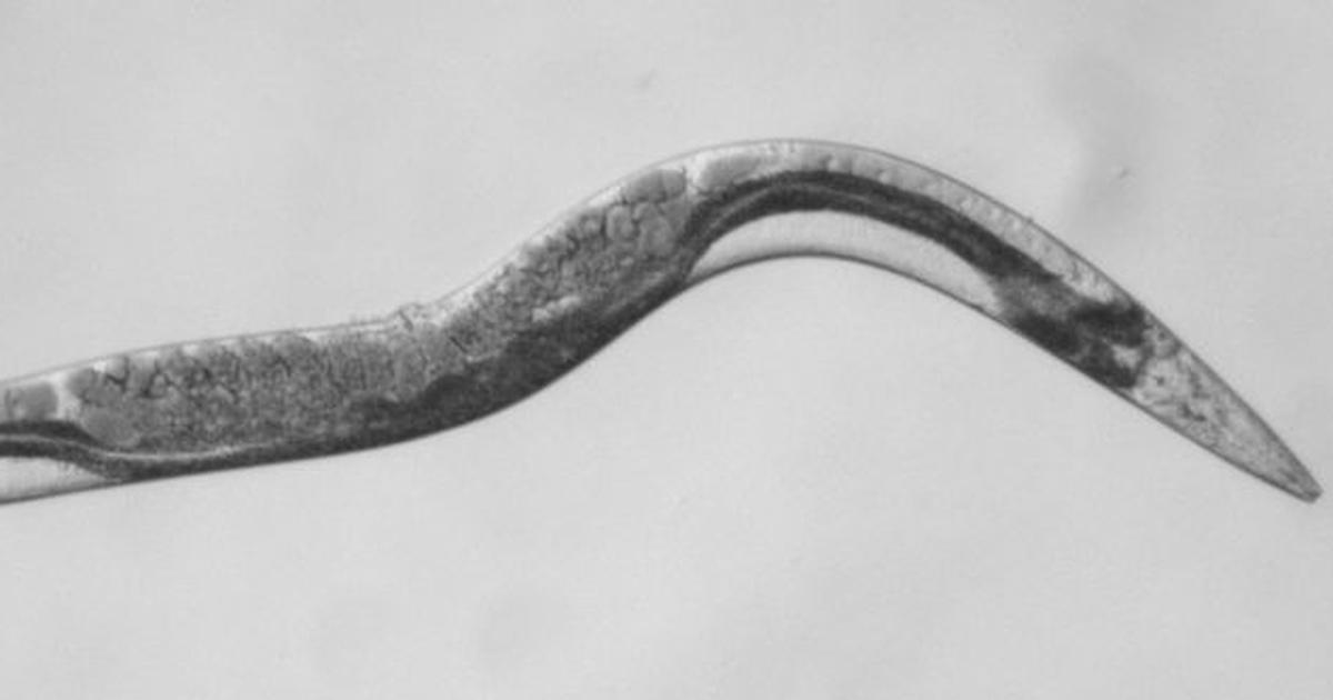 An extremely rare form of cancer may have a cure, thanks to this tiny worm