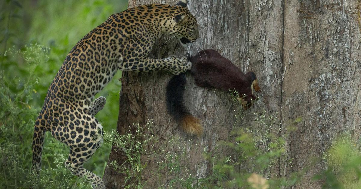 Conservationist Sanjay Gubbi condenses 10 years of fieldwork in this guide to the leopard