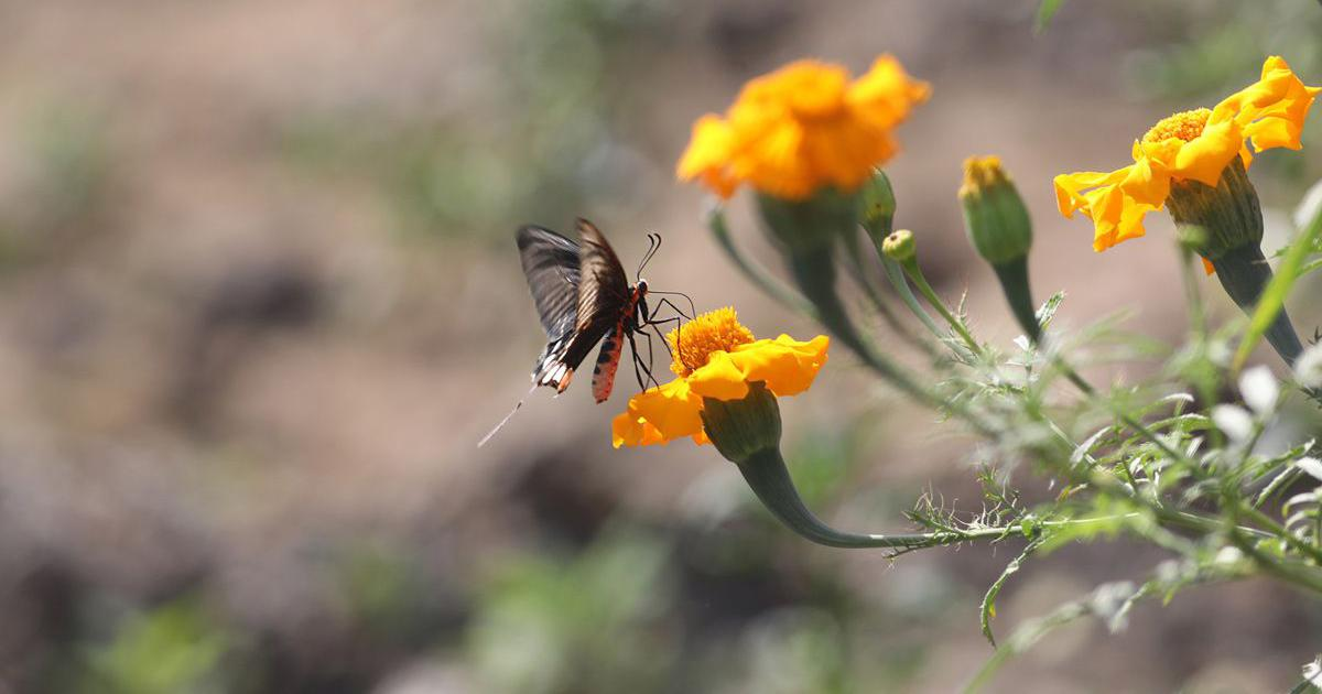 Butterfly parks help in increasing awareness – but not in conservation
