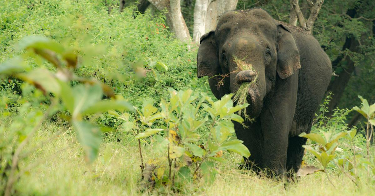 The death of an elephant in the Nilgiris spotlights the tussle over a conservation project
