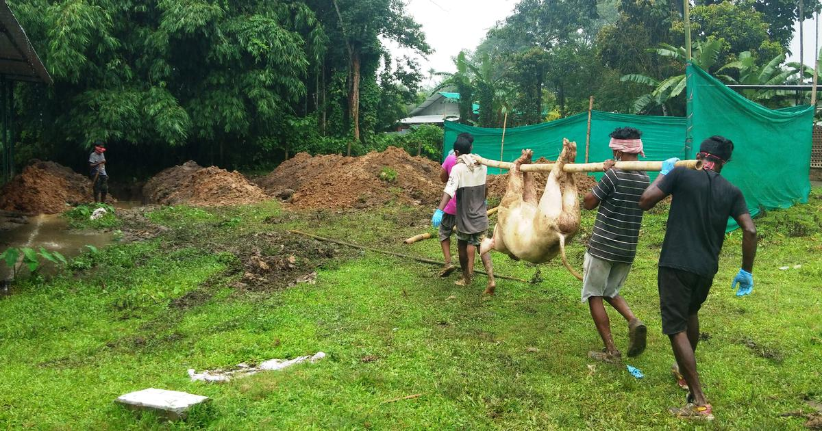 How African Swine Fever – and government inaction – pushed Assam's pig farmers into penury