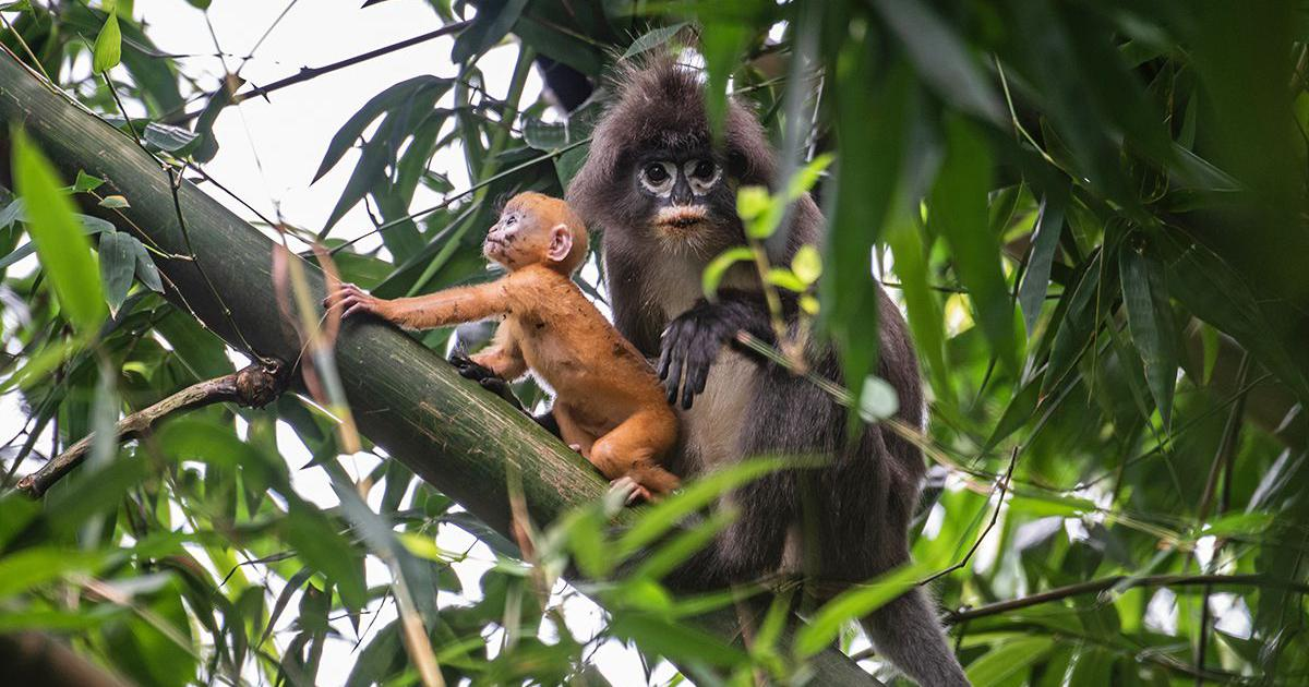 In Tripura, the spectacled leaf monkey is facing a dire future because of rubber plantations