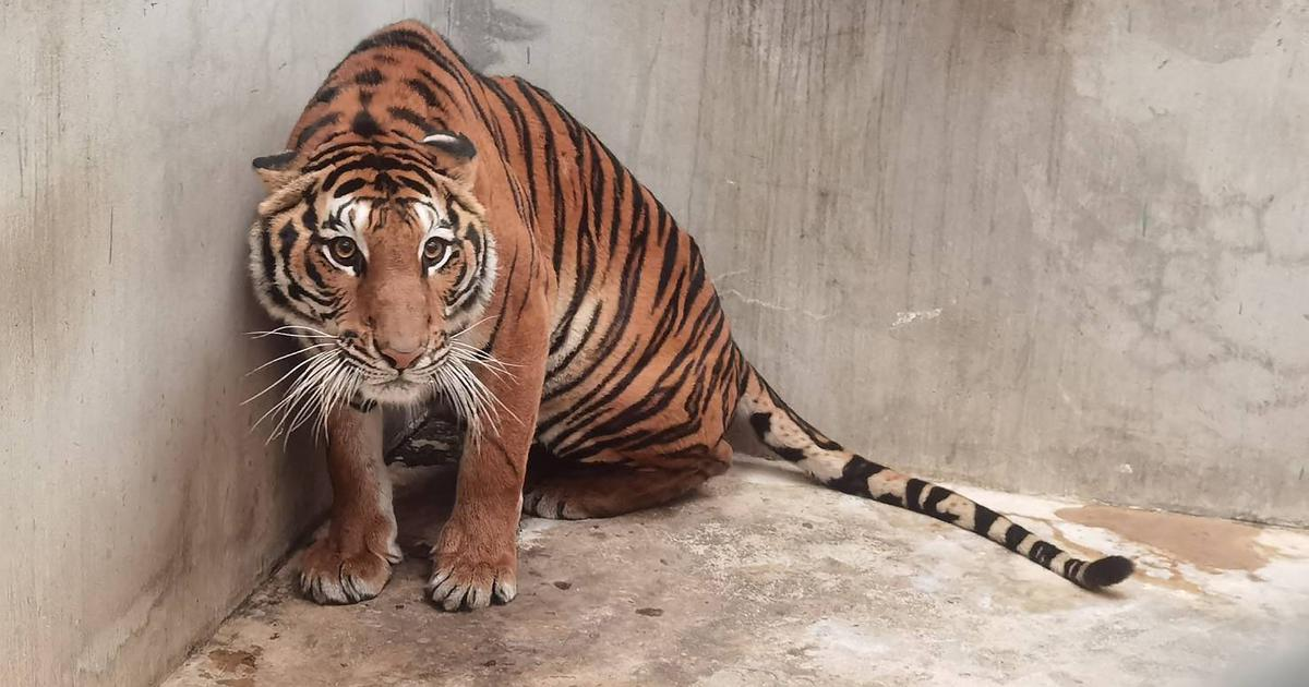 For the 'tiger farms' of Asia, the big cat is worth more dead than alive