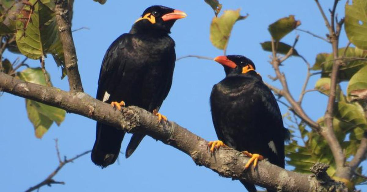 In Bastar, conservationists are trying to save Chhattisgarh's state bird from extinction