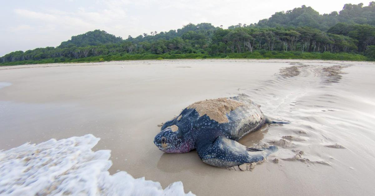 Indian government's development plans for the Andamans may endanger the world's largest sea turtles