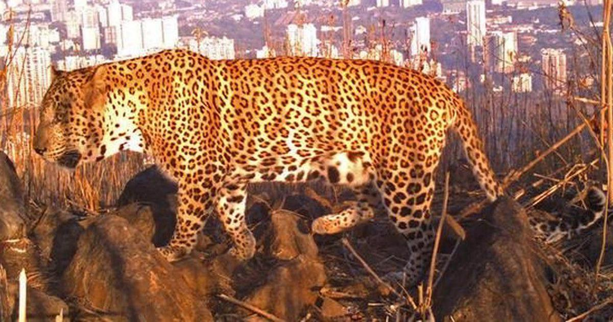 Leopards of Silicon City: What is the future of the species around Bengaluru (and in India)?