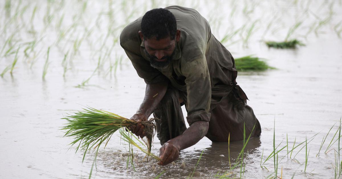 As parts of Pakistan ban water-guzzling paddy, one farmer has a solution