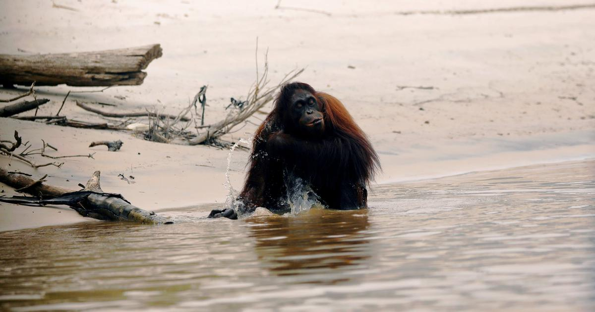 Around 50 million years ago, Africa was an island. So how did primates get there?