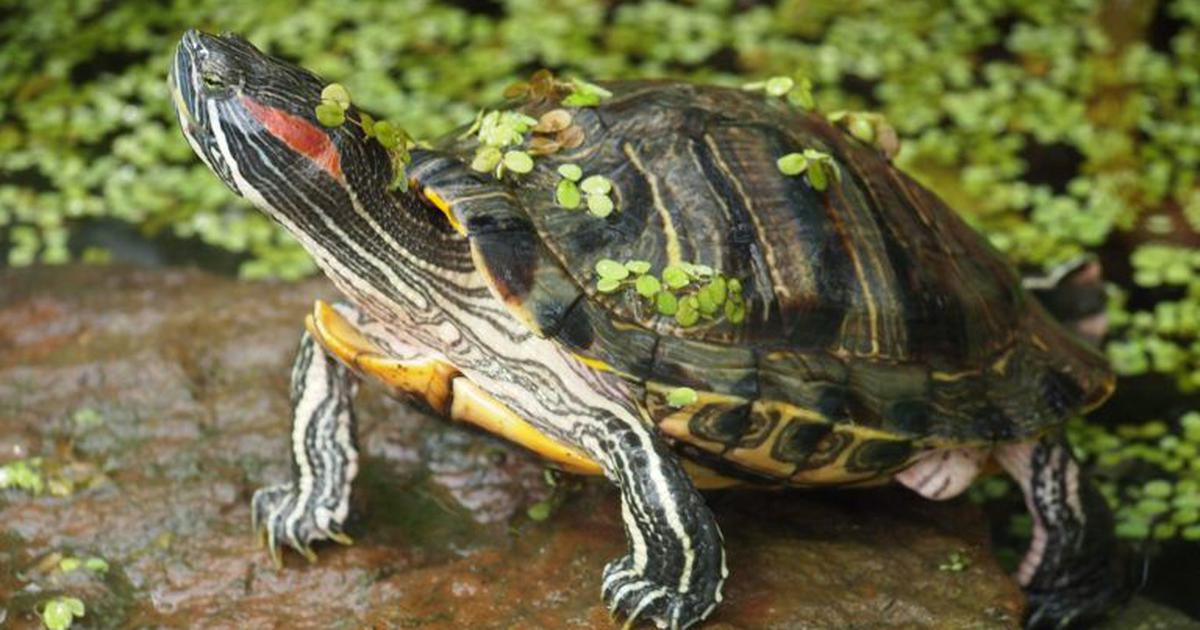 These cute turtles may not look dangerous, but they are among the world's worst invasive species