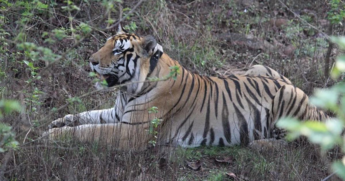 In unusual behaviour, a male tiger in Panna reserve is caring for cubs after their mother's death