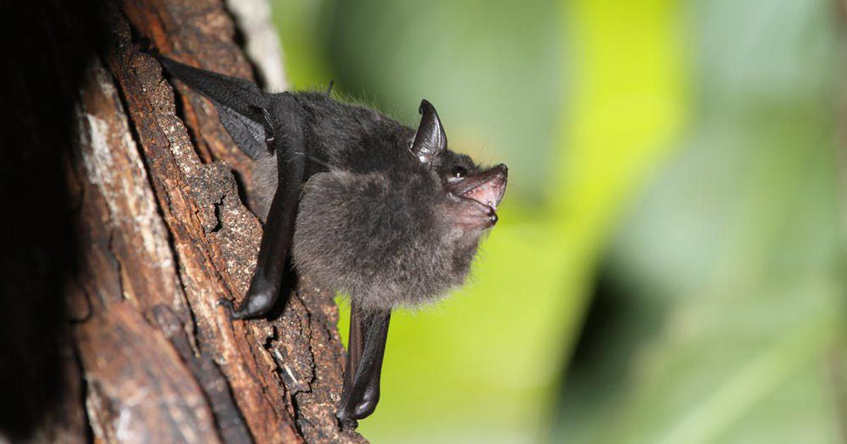 Scientists find striking parallels between the babbling of bat pups and human babies