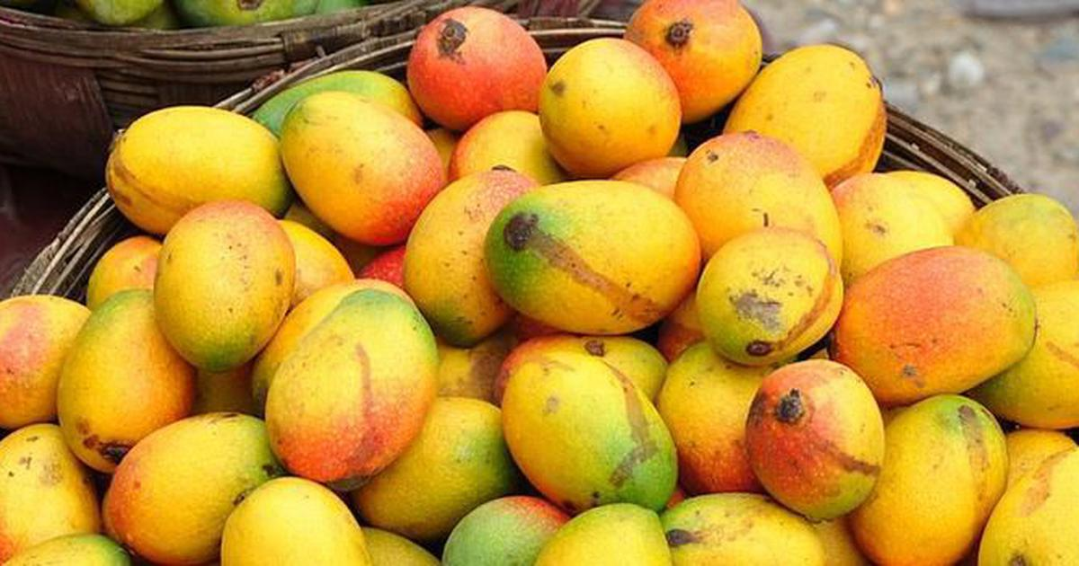 Alphonso mango season has been delayed – and Maharashtra's erratic weather is to blame