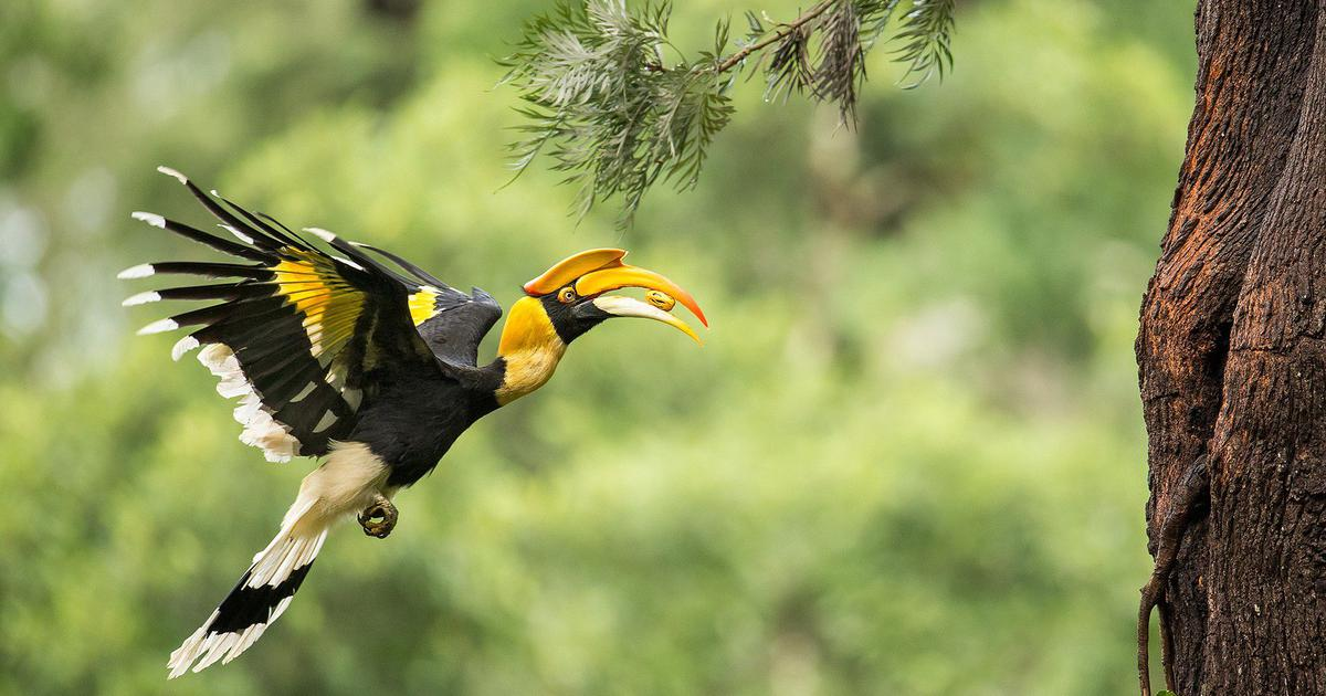 A new study proves how the Asian Hornbill maintains forest dynamics over long distances