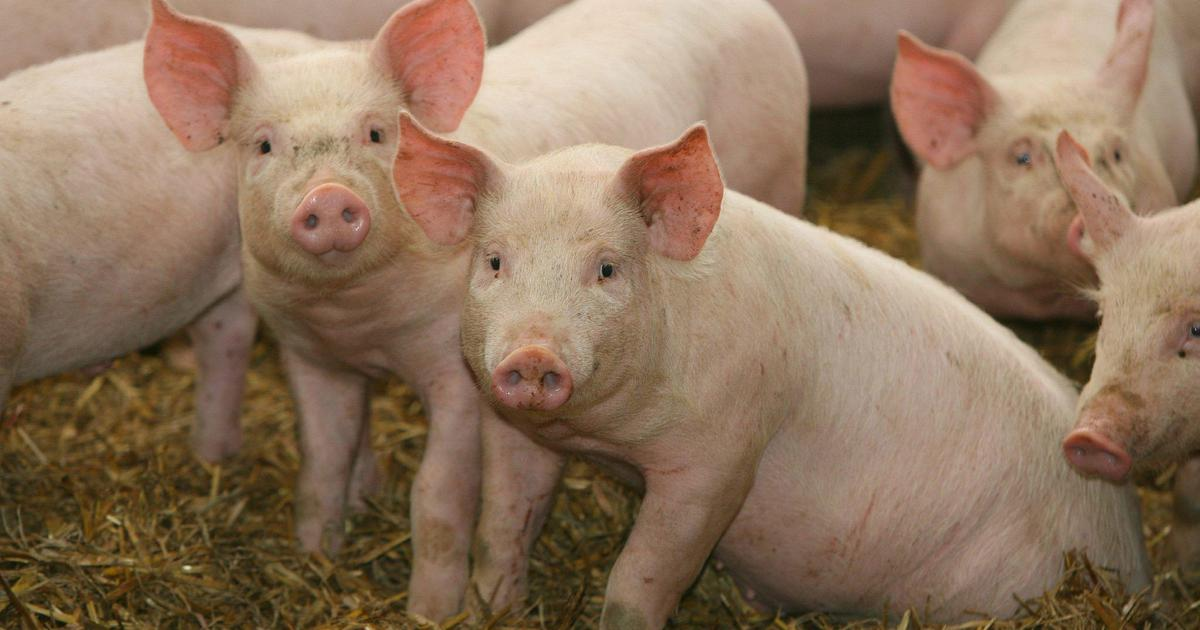 When is the moment of death? A study on pig brains shows that dying is not what we think