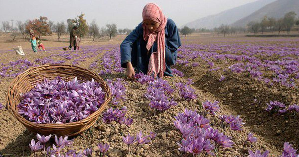 Amid declining production, Kashmiri farmers seek geographical indication tag for local saffron