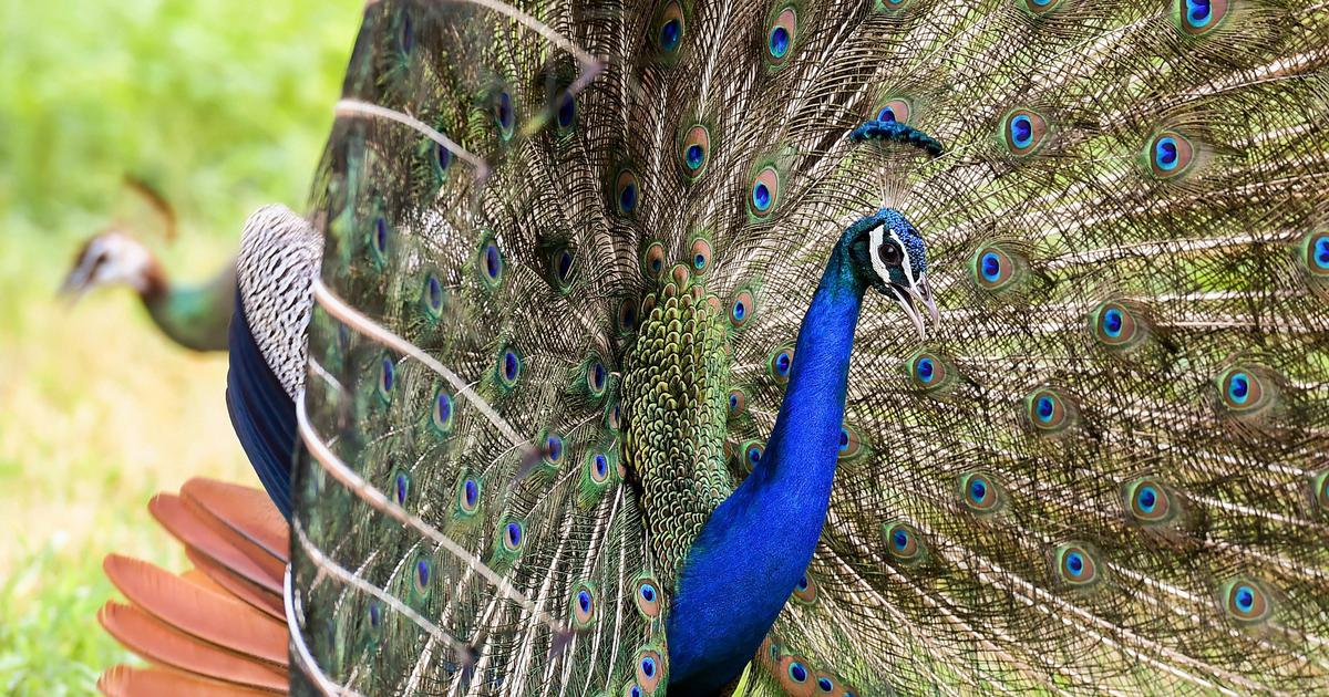 The peacock dances and then sheds its feathers. This novel links the plumage to publishing