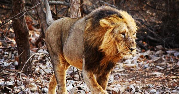 गिर के एशियाई शेरों का शिकारी क्या कोई सुपरबग भी है?