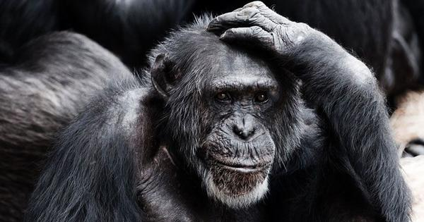 We observed chimps copying humans at the zoo – and won an Ig Nobel