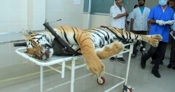 Tigress Avni killed on court's order, says SC, refuses to take contempt action