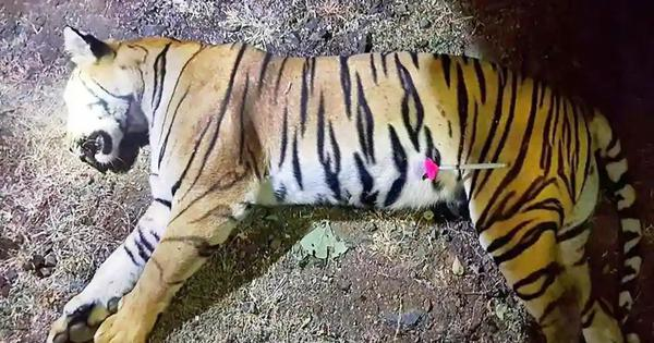 The Daily Fix: The killing of a tigress reflects a tragic flaw in how conservation is imagined