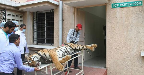 Avni killing: Inquiry panel says rules were violated, doubts tigress was shot at in self-defence