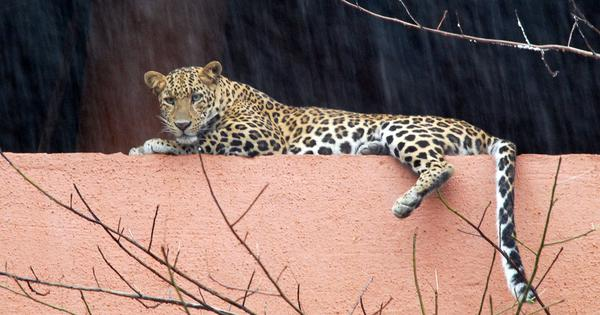 West Bengal: Leopard purportedly snatches 3-year-old from mother's lap, kills her in tea garden