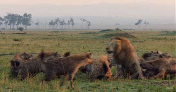 Watch a lion trying to escape a pack of hyenas in this gripping video