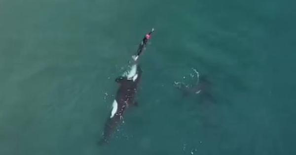 Drone shoots a breathtaking video of orcas surrounding a woman swimming off the coast of New Zealand