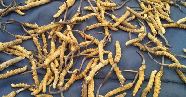 Harvesting Himalayan Viagra has improved the lot of Uttarakhand villagers (but it may not last long)