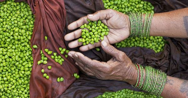 Winter food in India is incomplete without fresh beans like cholia and averakai