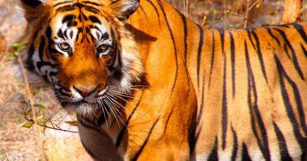 Indian scientists are using strands of tiger hair to map the wild cat's population