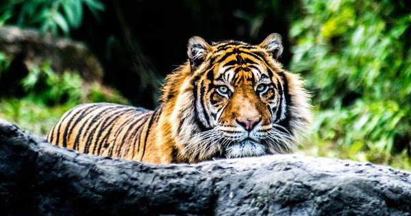 India's efforts to save its tigers have turned some Adivasi communities into conservation refugees