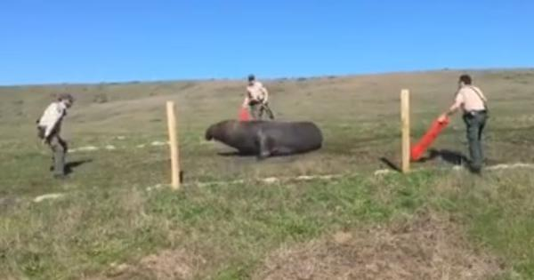 Watch: Police officers help lost elephant seal find its way back home