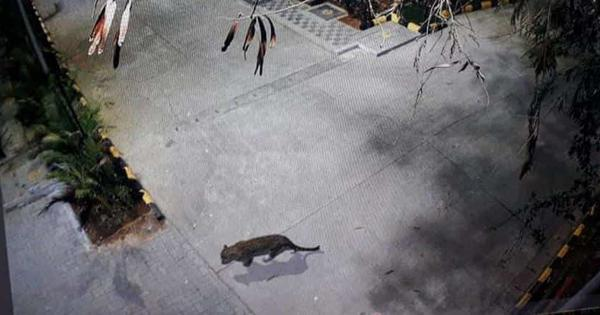 Maharashtra: Leopard spotted at Thane mall caught from basement of a hotel nearby