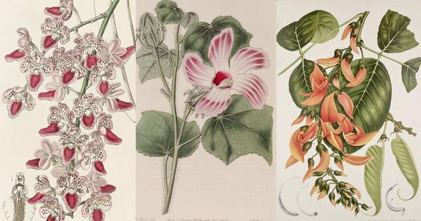 From temple walls to Instagram: The long and rich history of botanical art in India