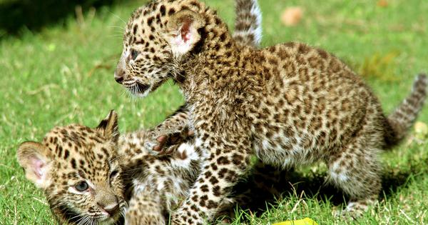 Maharashtra: Five leopard cubs killed as farm workers light fire on sugarcane field in Pune