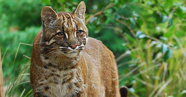 Grey, cinnamon, black: The many colours of the Asiatic golden cat in Arunachal Pradesh