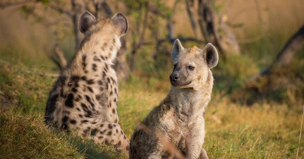 Watch: In this spat between a leopard and a hyena, the big cat has an advantage – it can climb trees