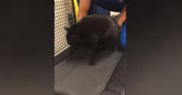 Cat on a treadmill? Watch this video of a cat that goes to a 'fat camp' at the University of Florida
