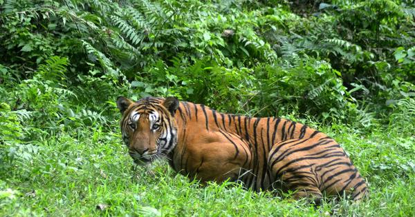 Tiger found dead in Kaziranga after 'accidental firing' by forest guards