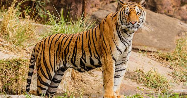 The road-building spree in Asian countries is a threat to the dwindling tiger population