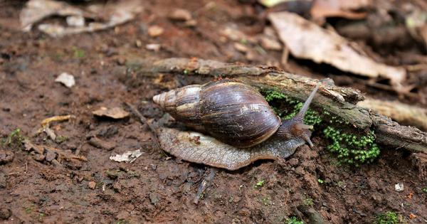 Both Kodagu and Kerala are fighting off an invasion of giant snails – but only one has found success