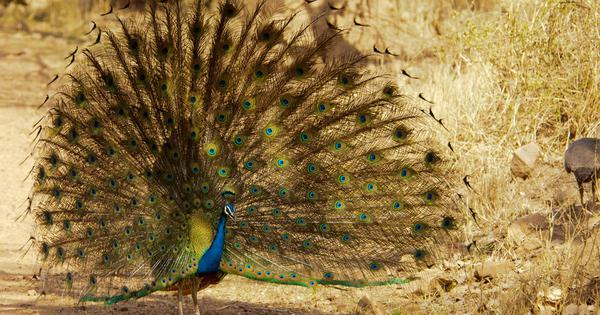 Watch: A graceful peacock dances alongside a railway line in Ramanathapuram, Tamil Nadu