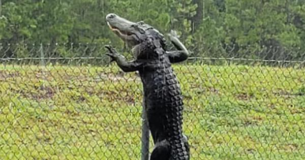 Watch: Alligators are fast, fierce and have sharp teeth. Turns out they can even climb over fences