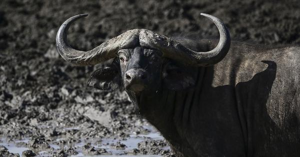 Delhi zoo's last Cape buffalo dies allegedly after consuming plastic, inquiry ordered